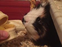 Pig Henry